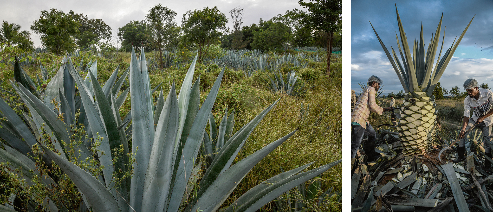 economist.com - Indian tequila: one man's quest to perfect a national spirit